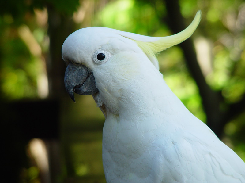Sulphur-Crested Cockatoo on our Terrace, October 2011