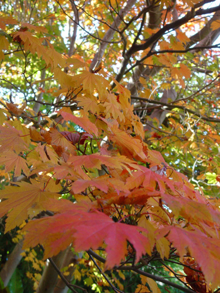Japanese Maple Leaves in Autumn (Victoria, Australia)