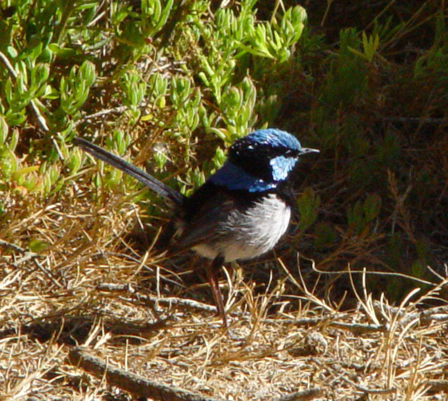 Superb Fairywren, at Old Man Lake, Little Dip Conservation Reserve (South Australia, Australia)