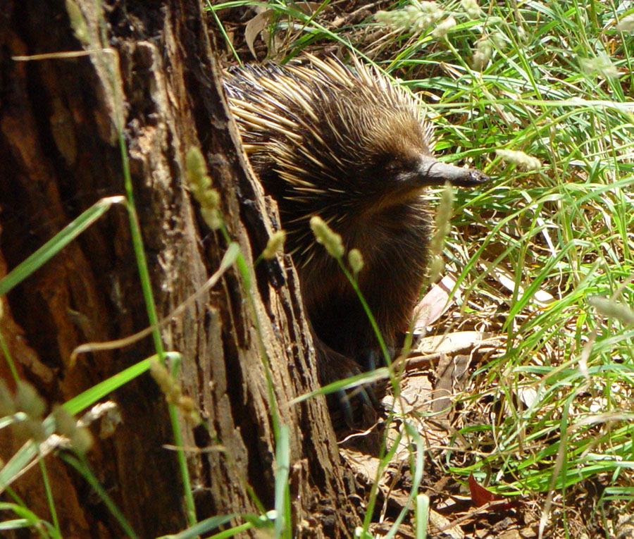 Echidna seeking ants at a roadside tree, between Nelson, Victoria &amp; Mt. Gambier, South Australia (Australia)