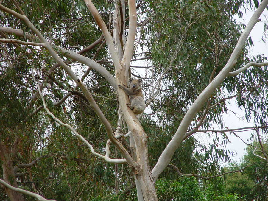 Koala at Mt. Eccles Natl. Park (Victoria, Australia)