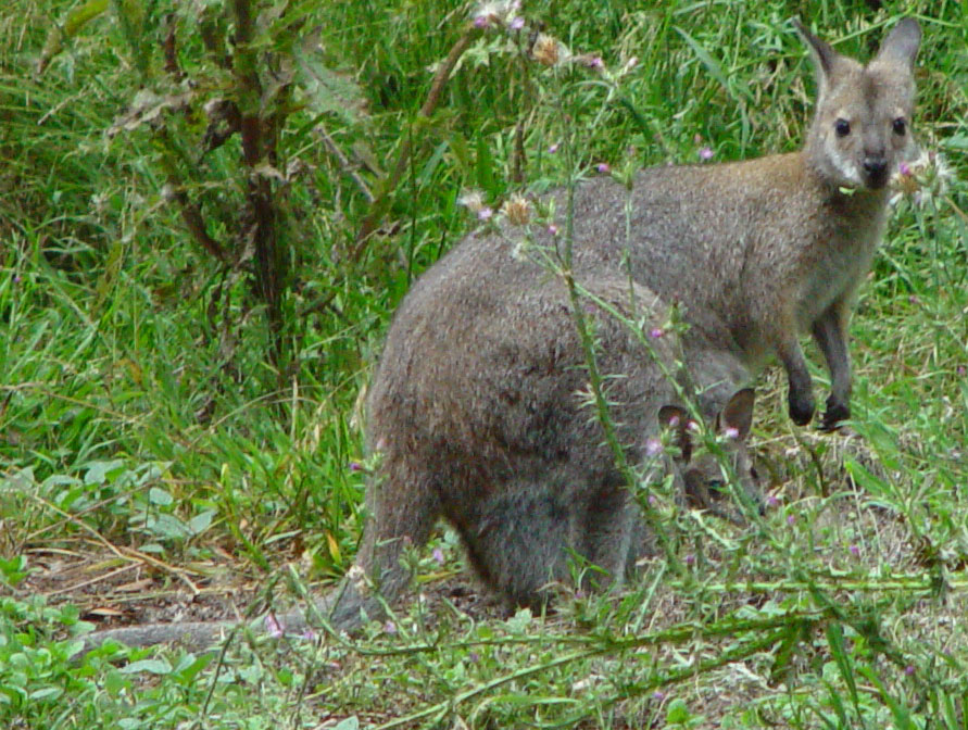 Wallaby with Joey in Pouch at Mt. Eccles Natl. Park (Victoria, Australia)