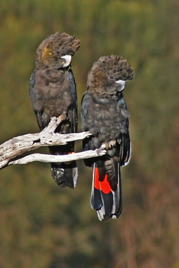 These two are still firmly on the perch. Glossy Black Cockatoo Pair, by Eleanor Sobey.