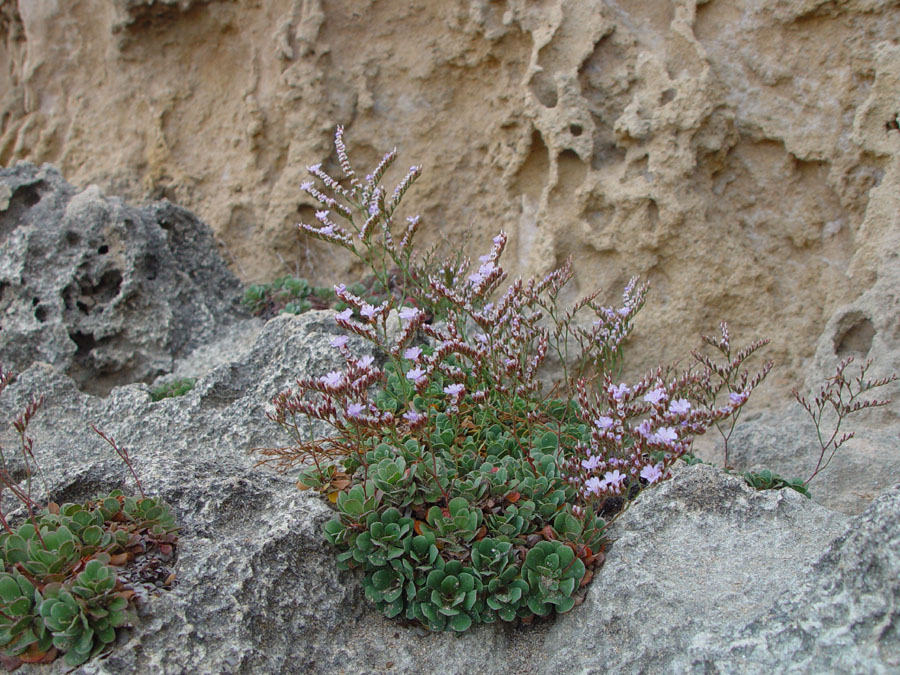 Plants in the cliffs at Robe, South Australia