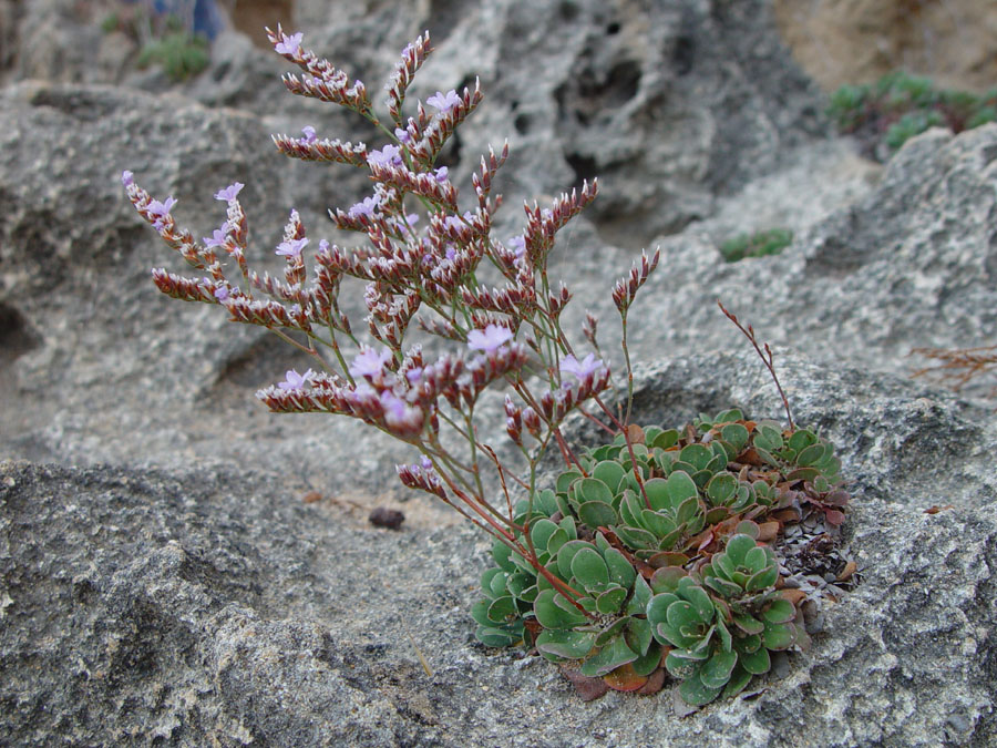Plants in the cliffs at Robe, South Australia (2)
