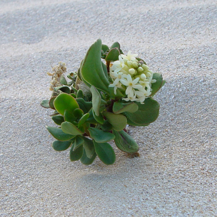 Tiny plants that grow in sand dunes, South Australia