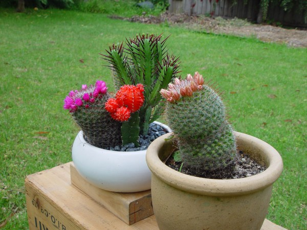Potted Cactuses