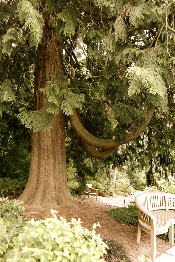 big tree with swooping branches