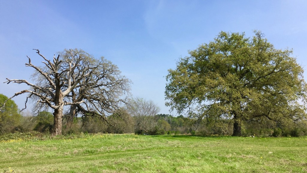 Dead and Alive Oak Trees