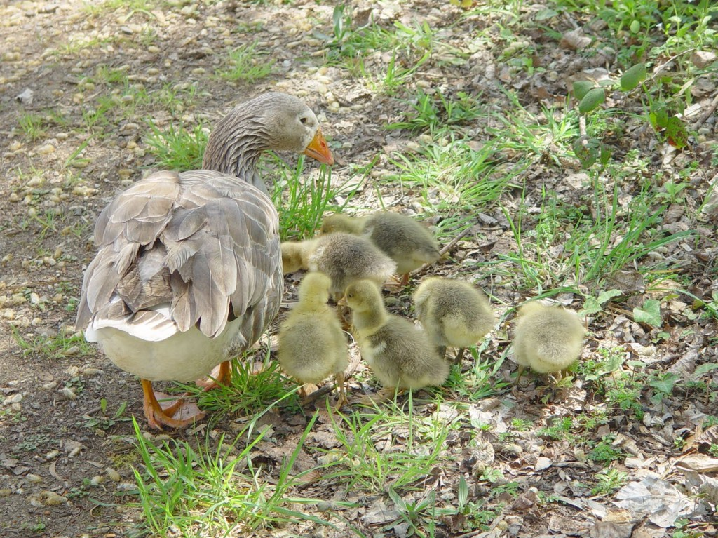 DSC00201-Goslings-by-Daylesford-Lake-Oct2015