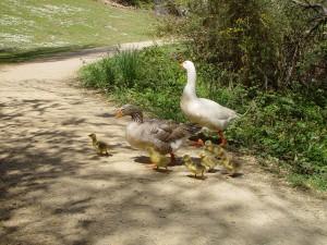goslings-DSC00191-Oct2015